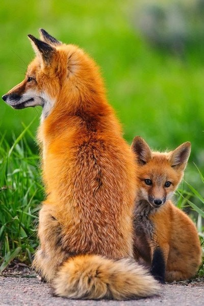 Timid Tiny Fox