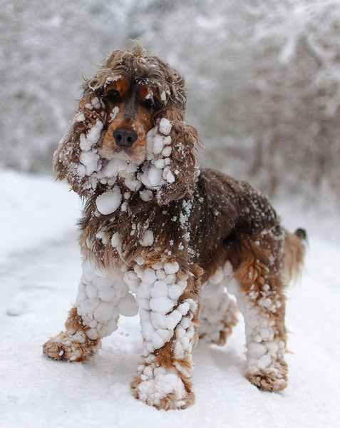 Icy Cocker Spaniel