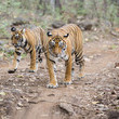 The Tiger Population Is On The Rise