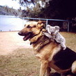 German Shepherd & Koala