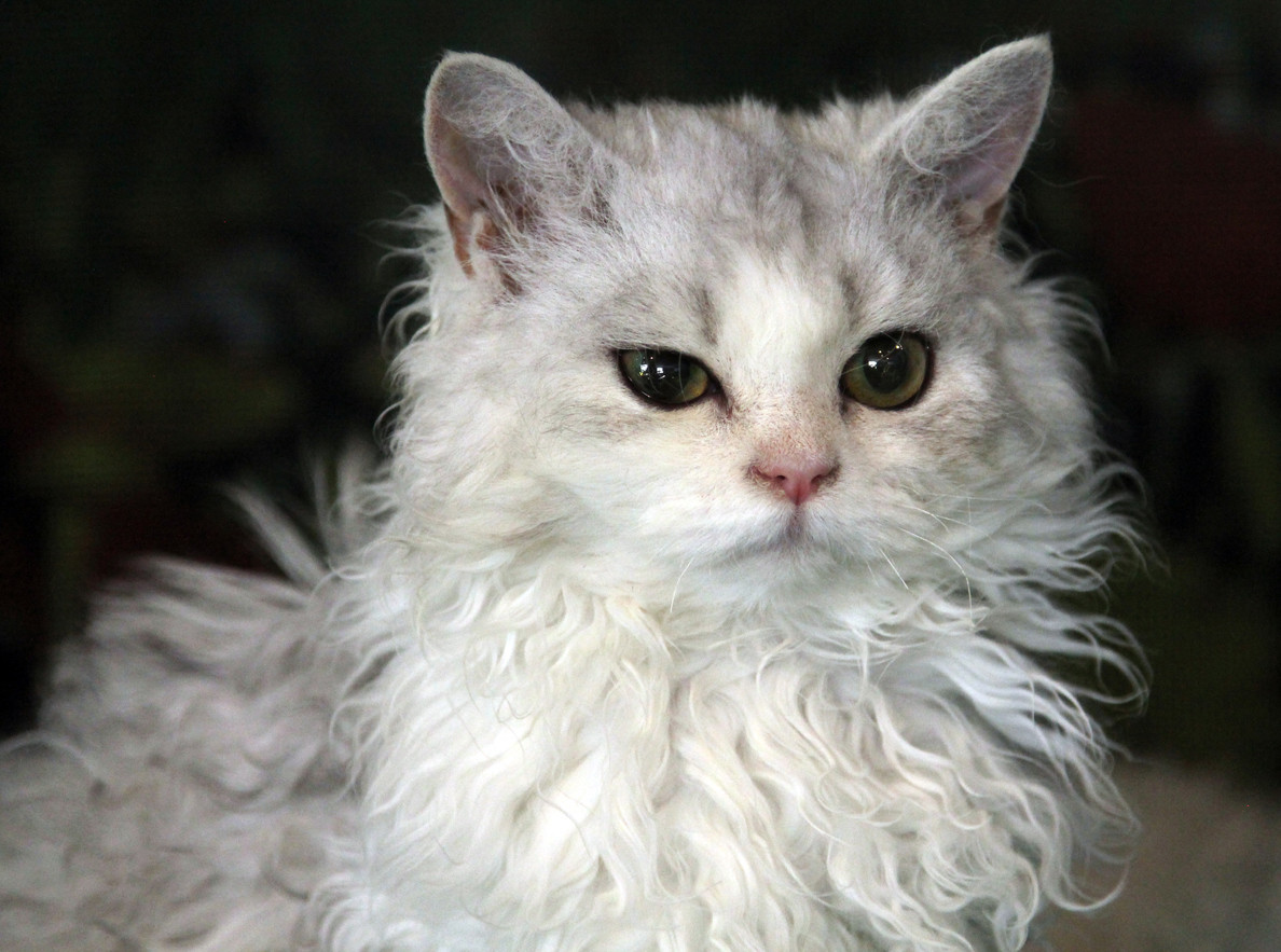 Apparently Poodle Cats Are A Thing And They're As Adorable As You'd Expect