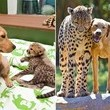 Dog & Cheetah